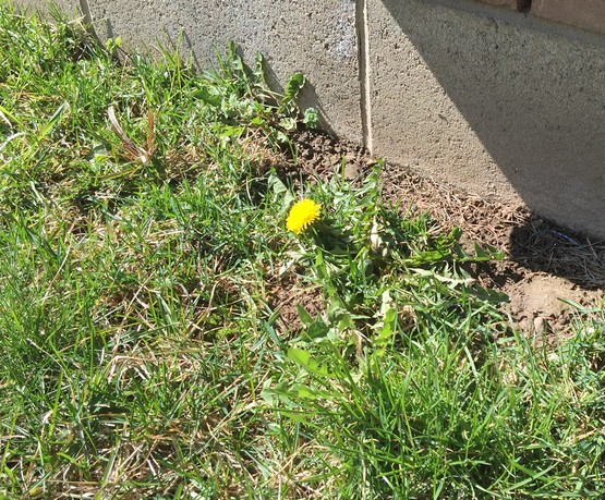First Dandelion of the season