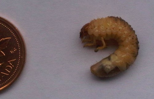 White Grubs can damage lawns