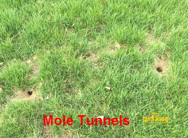 Mole Tunnels in Lawn